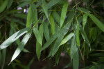 Leaves of a Bamboo Plant