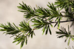 Leaves of a Bay-Cedar