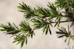 Leaves of a Bay-Cedar