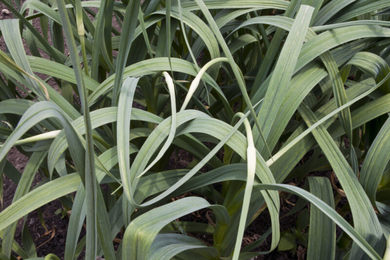 Leaves of a Garlic Plant