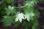 Leaves of a Korean Maple
