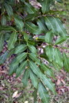 Leaves of a Longan Tree