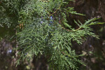 Leaves of a Sawara Cypress