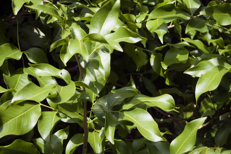 Leaves of a Spanish Lime