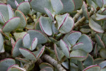 Leaves of a Succulent Tree