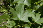 Leaves of a Sugar Maple