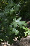 Leaves of a Valley Oak Tree