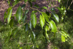 Leaves of a Weeping Higan Cherry Tree