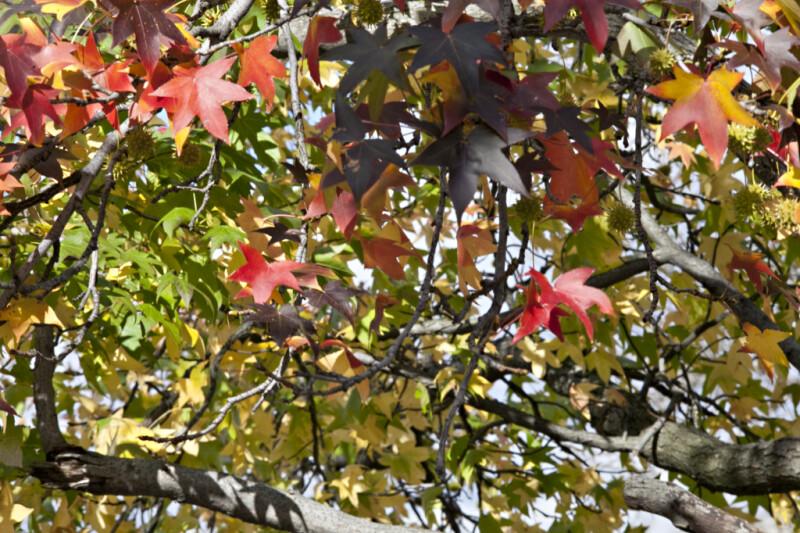 Leaves of an American Sweetgum Tree