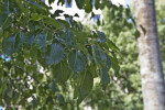 Leaves of an Evergreen Pear Tree