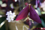 Leaves of an Oxalis triangularis