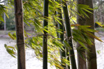 Leaves of Bamboo Plants Blowing in the Wind
