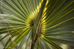 Leaves of the Cabbage Palm