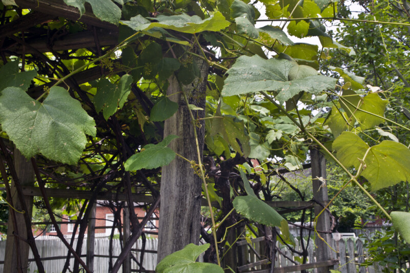 Leaves, Stems, and Woody Branches of a Grape Vine Growing on a Wooden Trellis