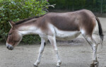 Left Side of a Kiang