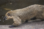 Left Side of a Ring-Tailed Coati