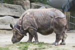 Left Side of Indian Rhinoceros