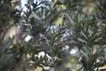Lemon Bottlebrush Branches
