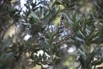 Lemon Bottlebrush Branches