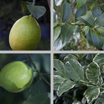 Lemon Trees photographs