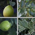Lemon Trees photographs