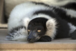 Lemur Lying on Wood with Eyes Wide Open