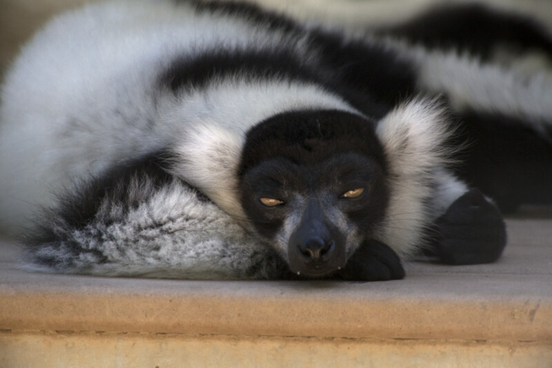 Lemur Resting with Eyes Partially Open