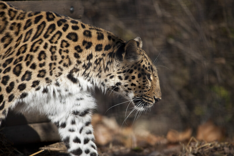 Leopard from the Side