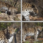 Leopards photographs