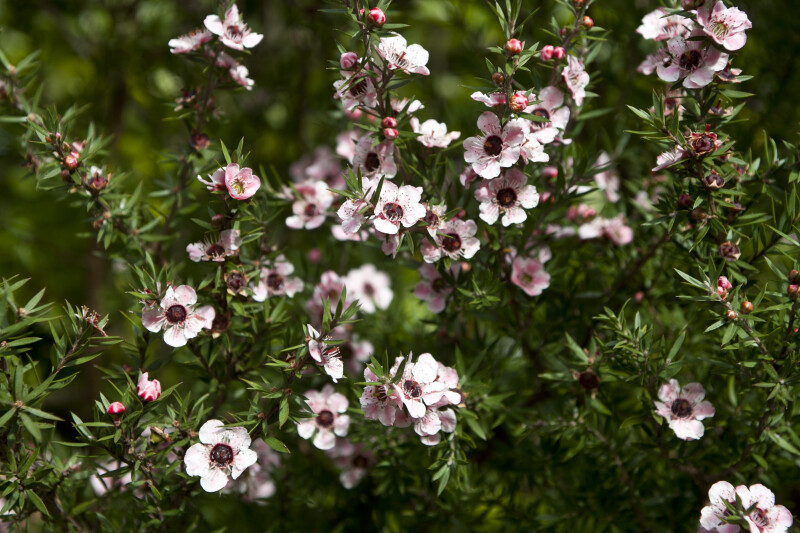 Leptospermum Flowering Branches