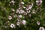 Leptospermum Flowering Branches