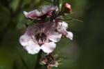 Leptospermum Flowers Extending from Stem
