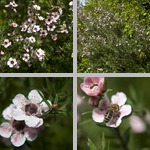 Leptospermum photographs