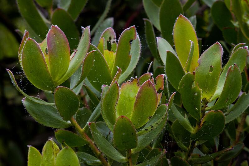 Leucadendron Cloudbank Ginny Leaves
