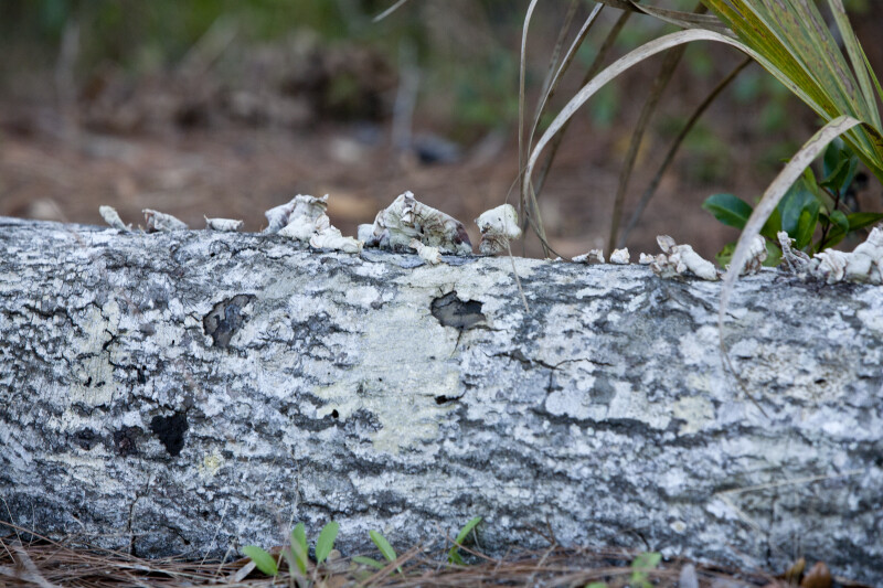 Lichen on Log