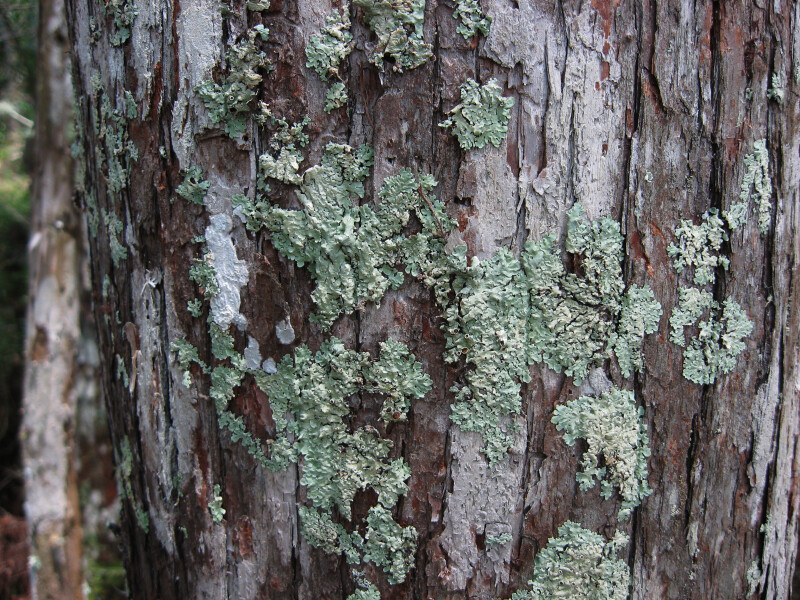 Lichen on Tree Trunk