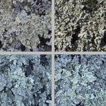 Lichens photographs