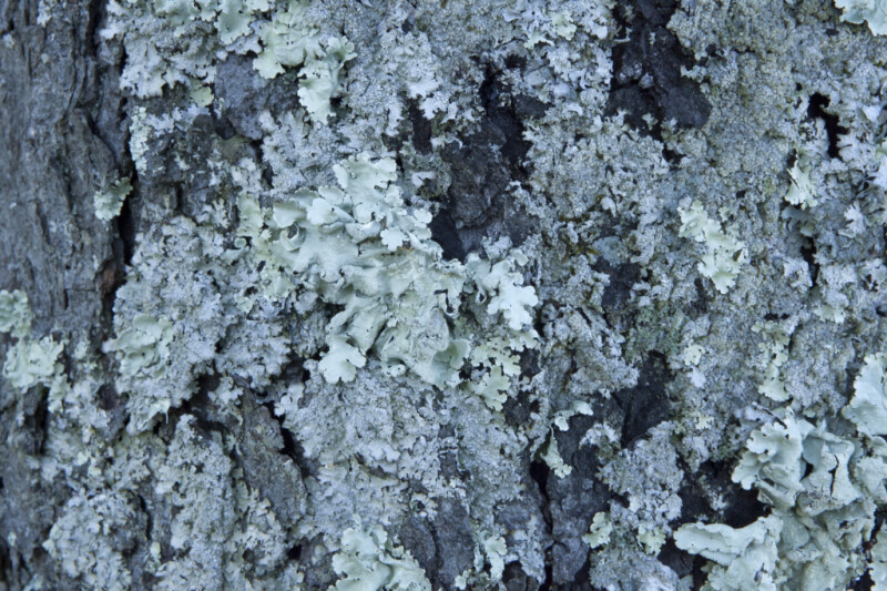 Lichens at Boyce Park