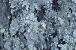 Lichens at Boyce Park