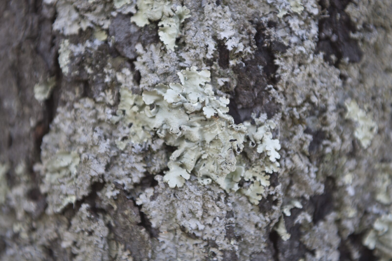 Lichens on Bark of Tree