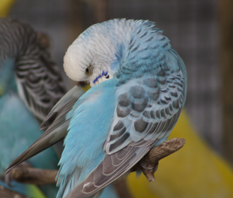 Light-Blue Budgie