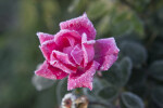 Light Frost on Flower of Rose