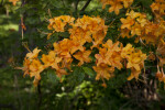 Light-Orange Pinkshell Azalea Flowers