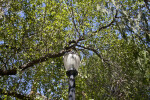 Light Post Underneath an Evergreen Pear Tree