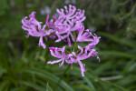 Light, Purplish-Pink, Ruffled Flowers