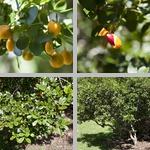 Lignum Vitae Trees photographs