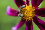 Lilac Time Dahlia