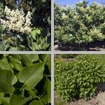 Lilacs photographs