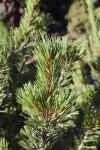 Limber Pine Close-Up