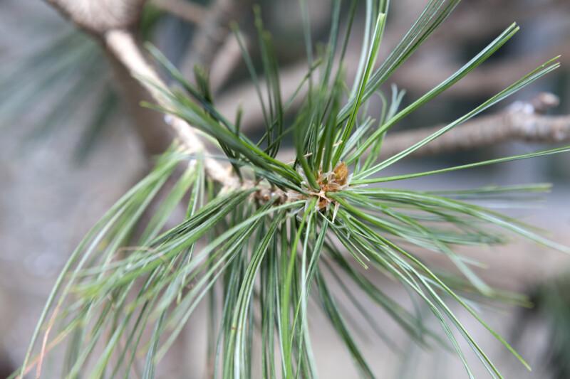 Limber Pine Needles